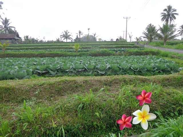 JTU 684 - Tanah Di Payangan-Bali Dengan View Sawah Seluas 28 Are Cocok Investasi, Payangan, Gianyar