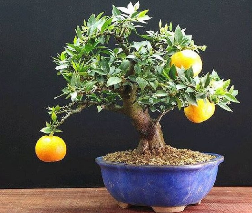 tanaman buah dalam ruangan