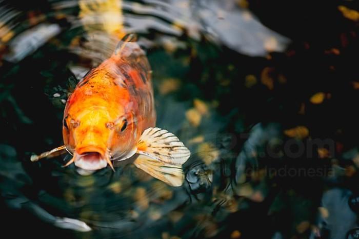 Macro view of orange koi fish in a pond