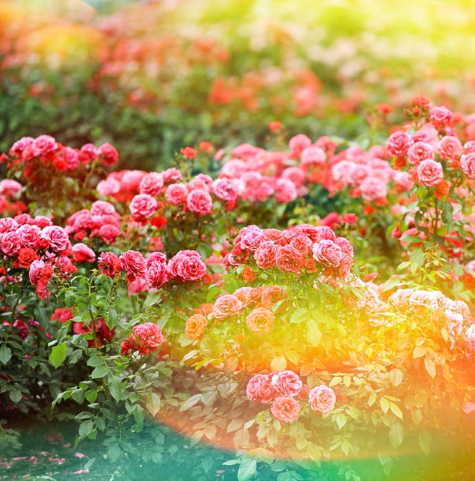Beautiful roses garden. Summer flowers. Vintage style toned picture with lens flares and light leaks