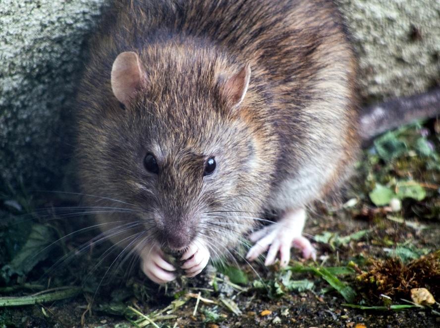 agar tikus tidak masuk rumah