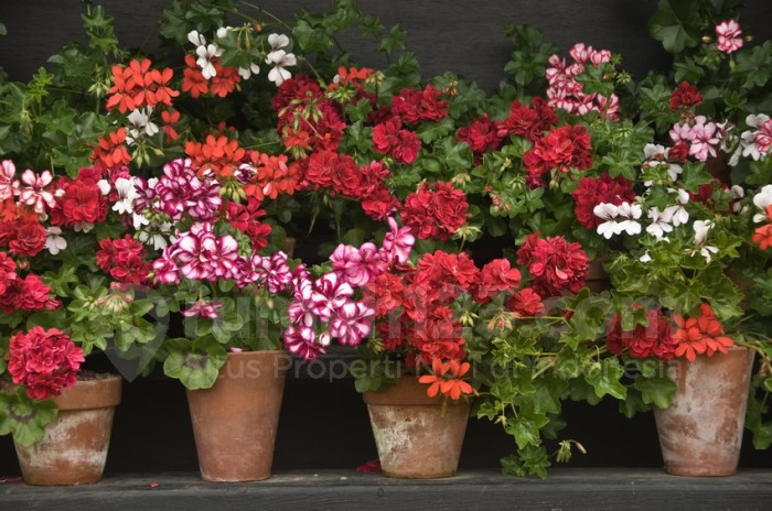 """Rows of vintage pots of red, pink and white geraniums against a black background"""