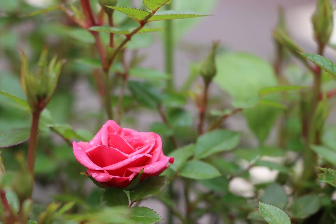 bunga mawar melati