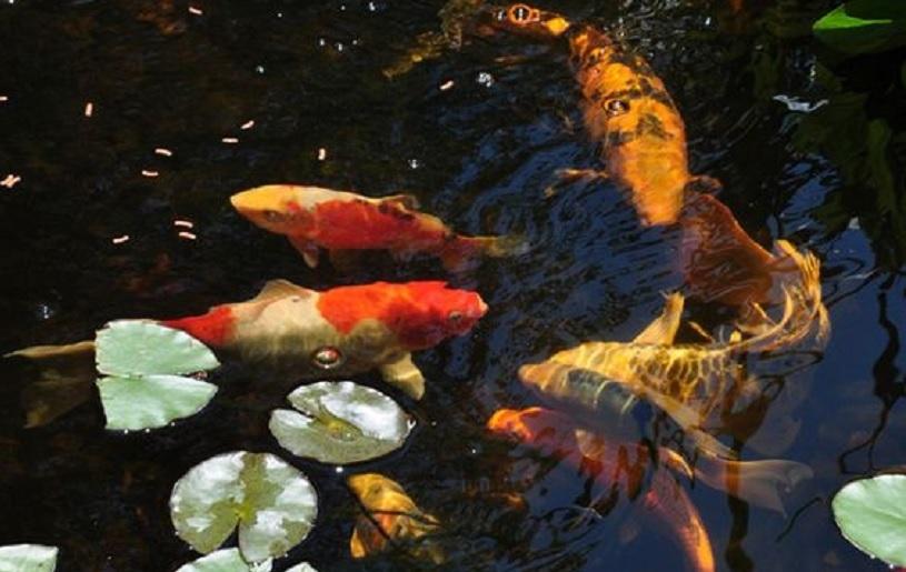 ciri ciri ikan koi sehat