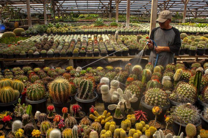 Menyiram kaktus