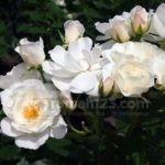 5 Langkah Mudah untuk Memiliki Taman Bunga Mawar