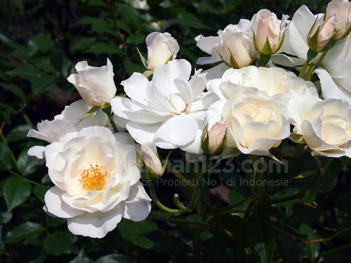 5 Langkah Mudah Untuk Memiliki Taman Bunga Mawar Rumah123 Com