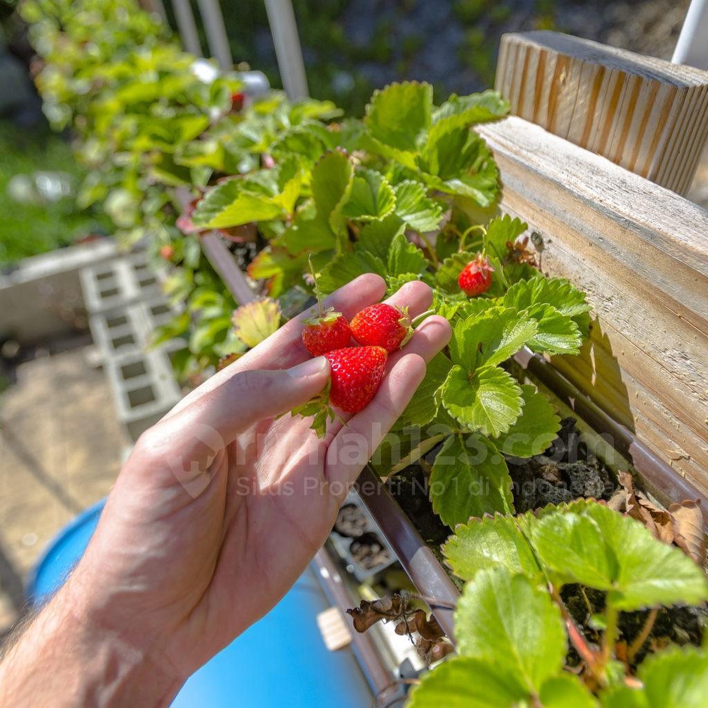 tanaman hidroponik - rumah123.com