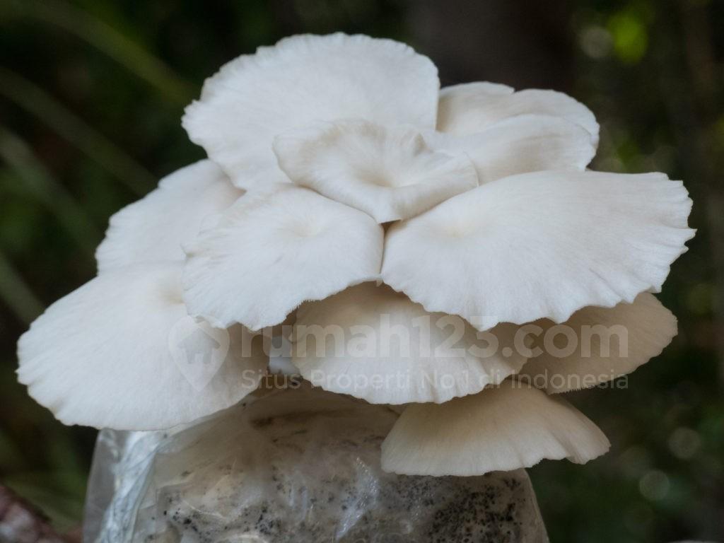 budidaya jamur - rumah123.com