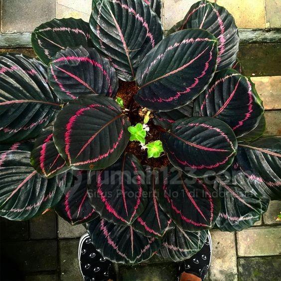 tanaman hias - rumah123.com