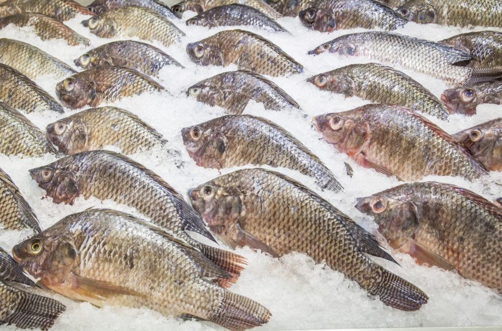 Download 8400 Gambar Ikan Nila HD Terbaru