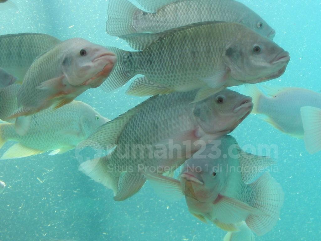 budidaya ikan nila - rumah123.com