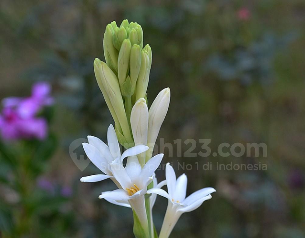 Bunga Sedap Malam- Rumah123.com