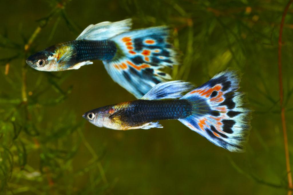 ikan hias air tawar - rumah123.com