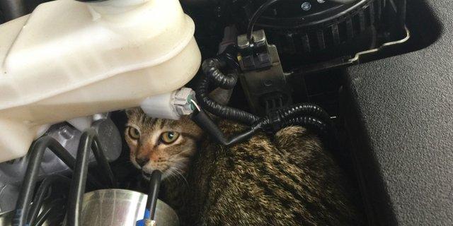 kucing kap mobil