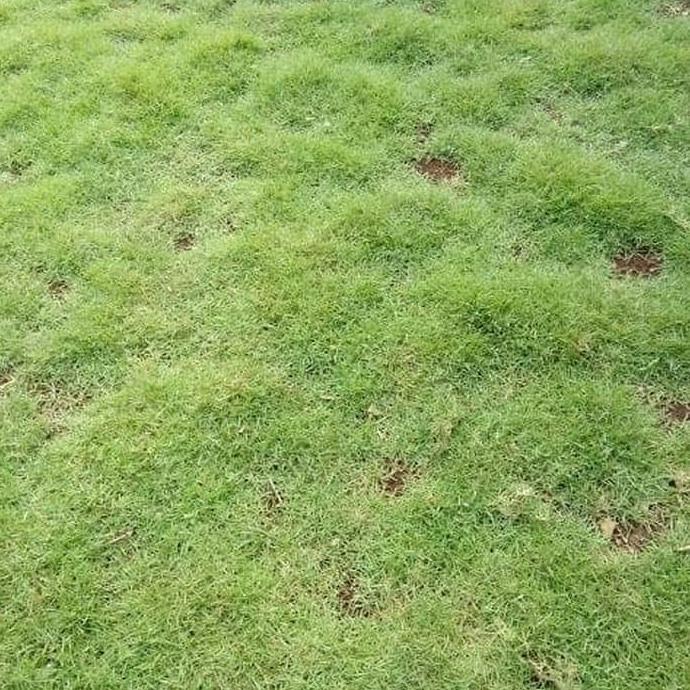 rumput taman jepang