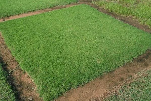 rumput taman bermuda