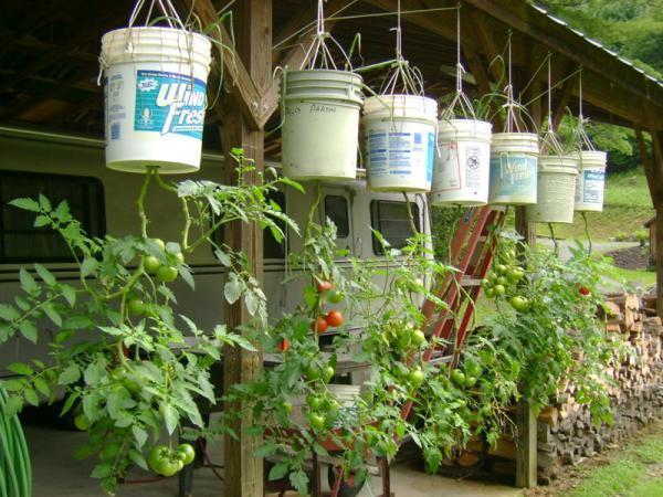 cara menanam tomat
