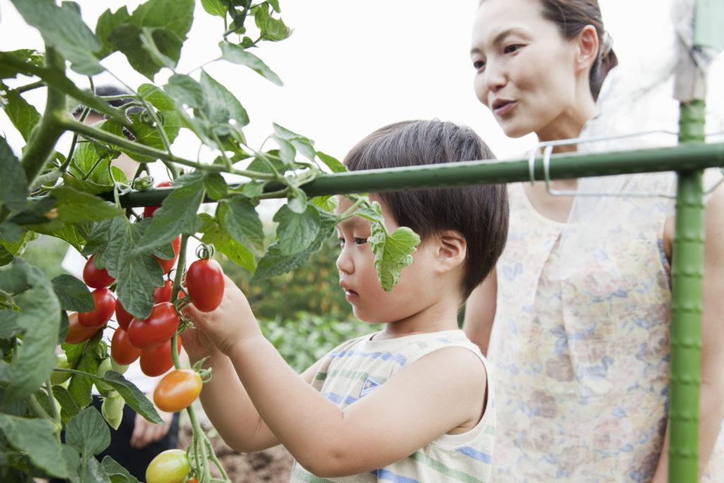 cara menanam tomat - rumah123.com