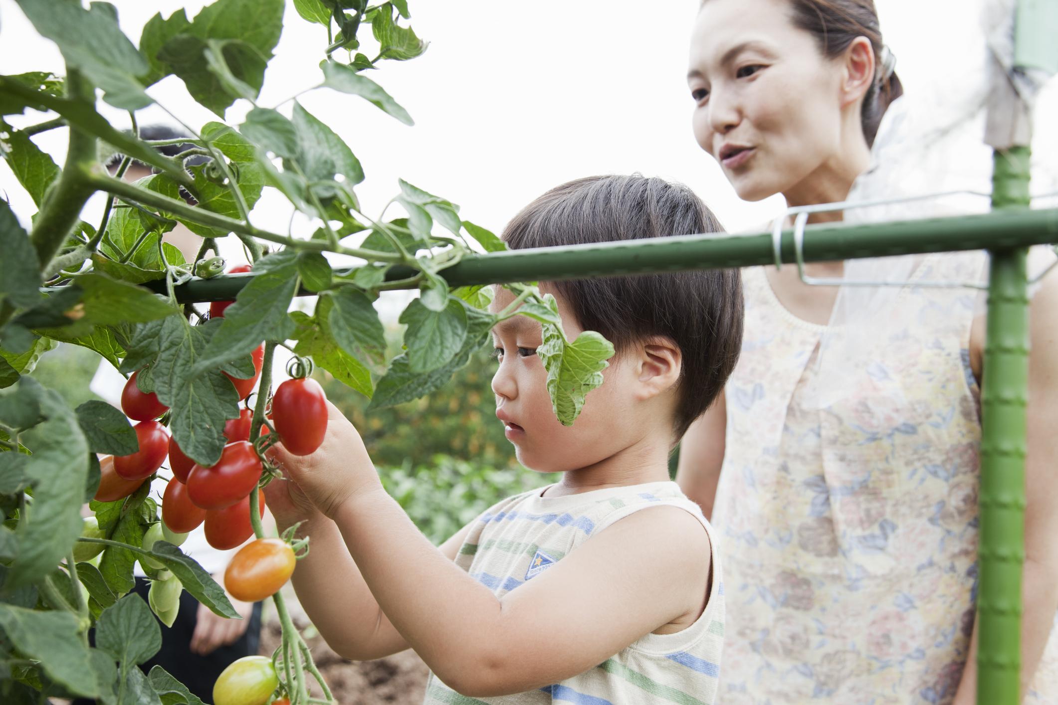 4 Cara Menanam Tomat di Pekarangan Rumah yang Sempit