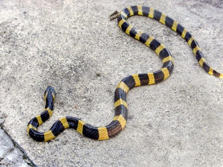 ular welang