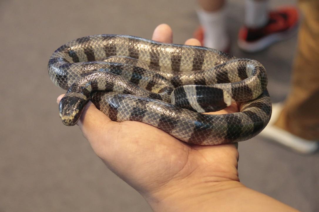 ular weling ular welang- rumah123.com