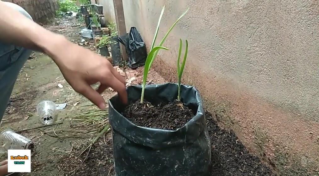 budidaya bawang putih