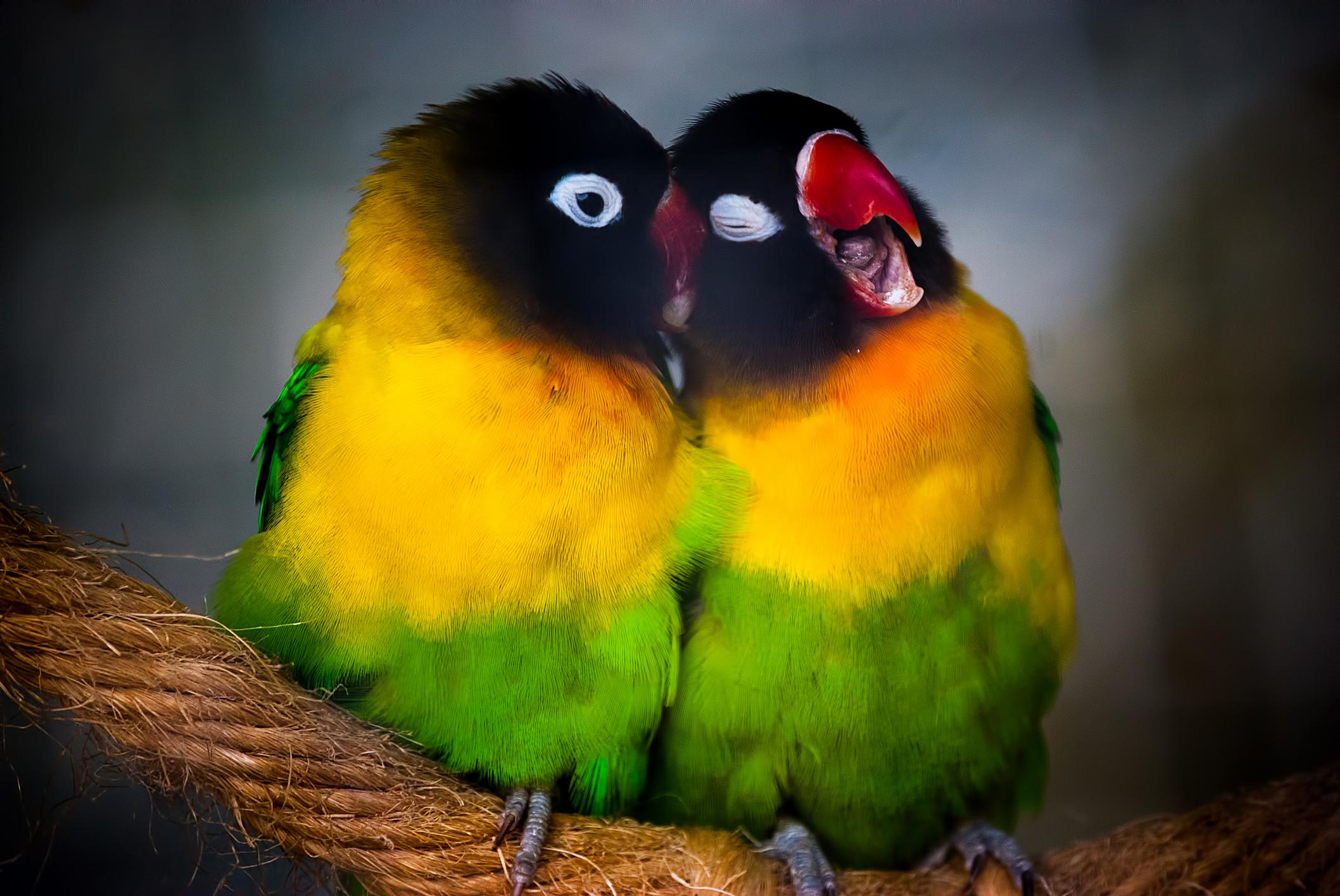 Panduan Sukses Ternak Lovebird di Rumah untuk Para Pemula