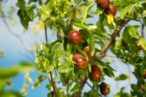 4 Tahap Menanam Pohon Bidara, yang Dipercaya Bisa Usir Jin dan Tangkal Sihir