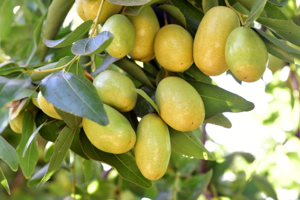 pohon bidara - rumah123.com