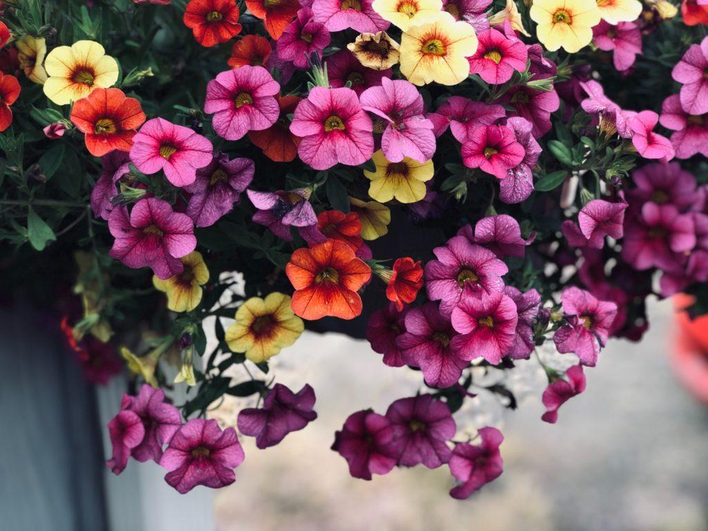 tanaman hias gantung petunia