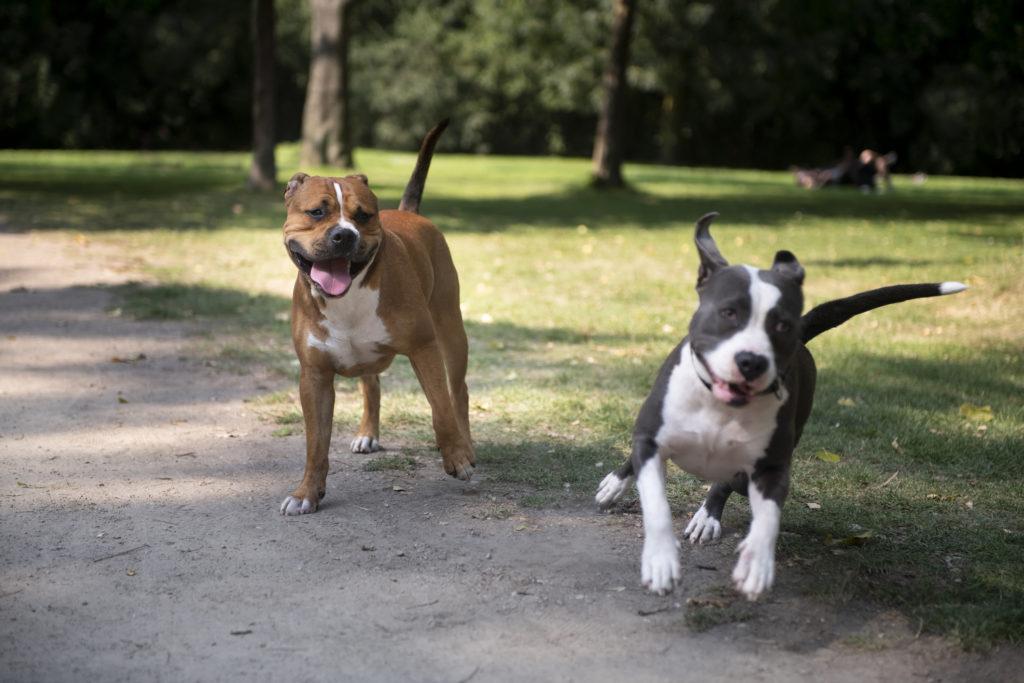 Anjing pitbull, jenis anjing yang tak bisa sembarangan dipelihara - Rumah123.com