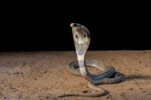 Kenapa Ular Kobra Bisa Masuk Ke Permukiman Warga?