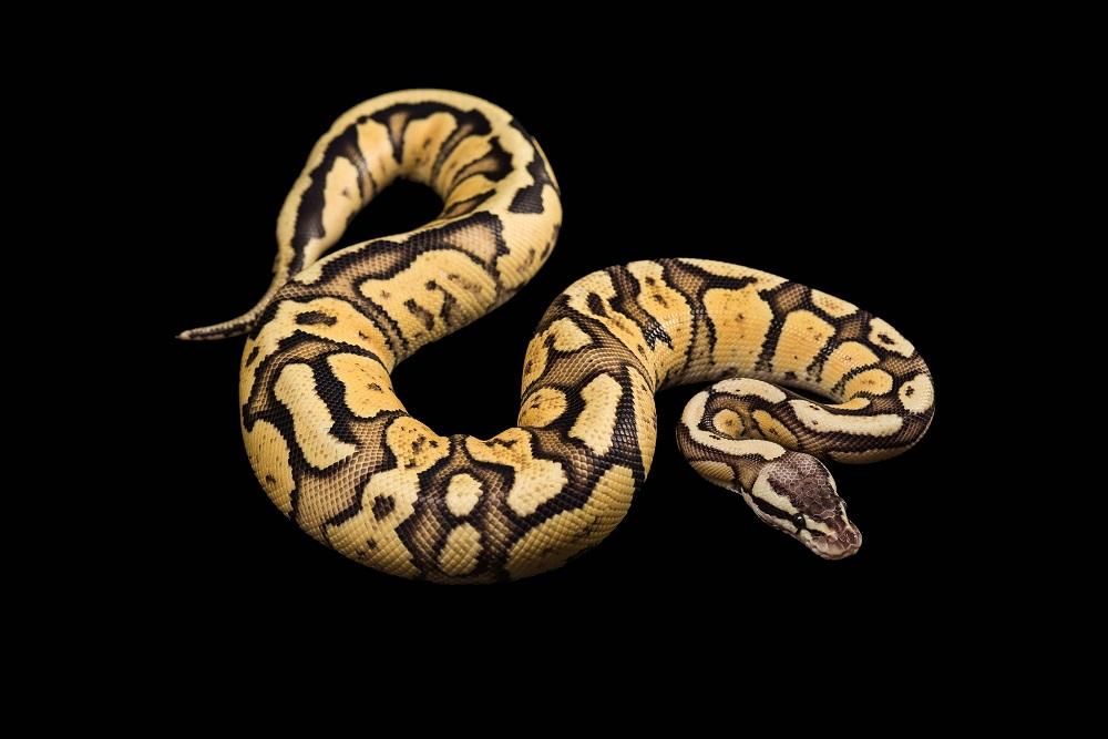 ular masuk rumah