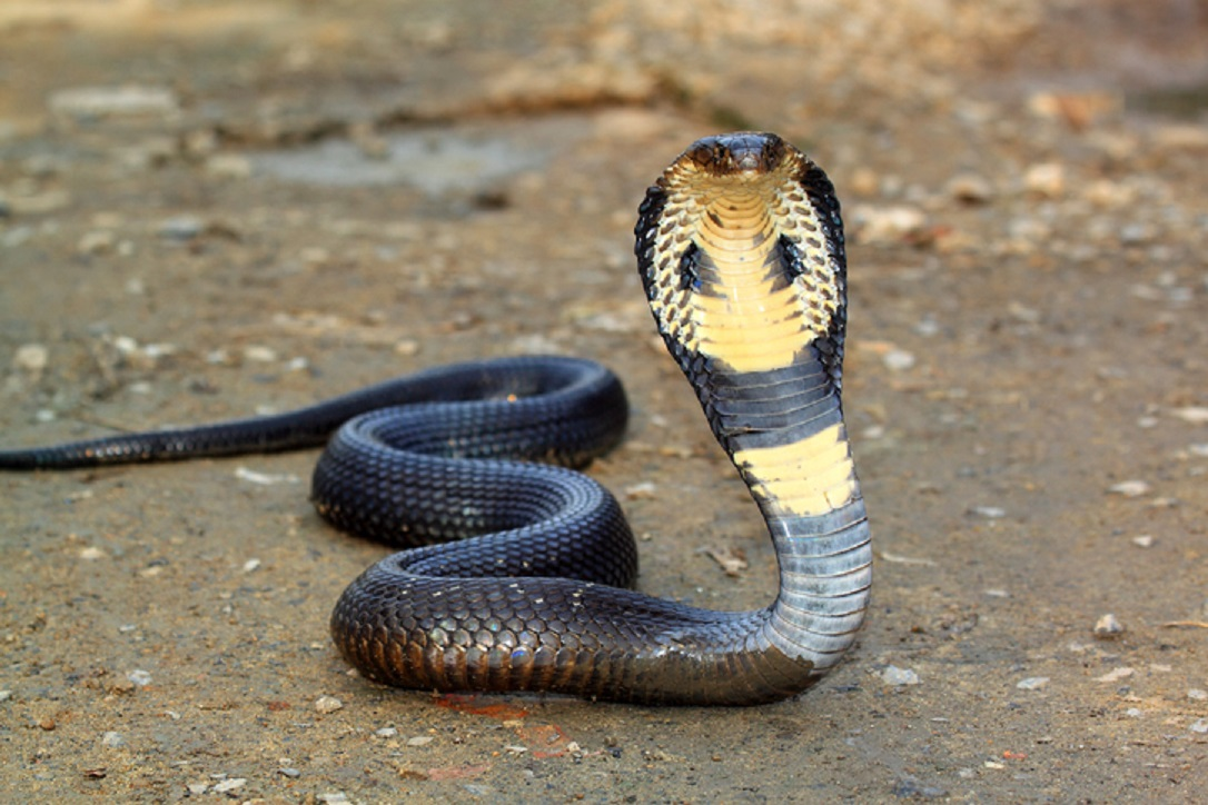 ular kobra- rumah123