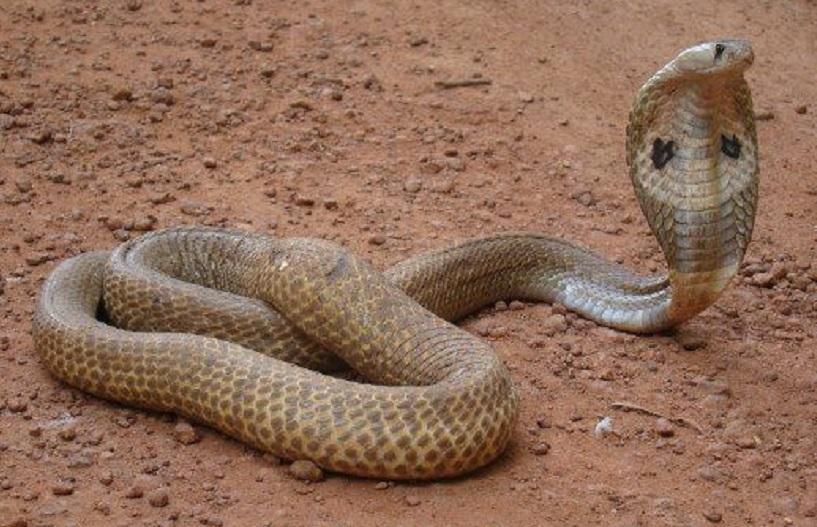 bisa ular kobra