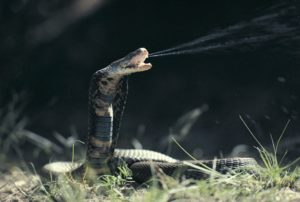 Cari Tahu Seberapa Mematikan Bisa Ular Kobra