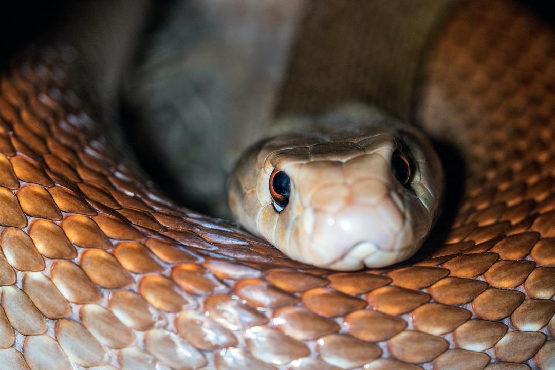jenis ular kobra