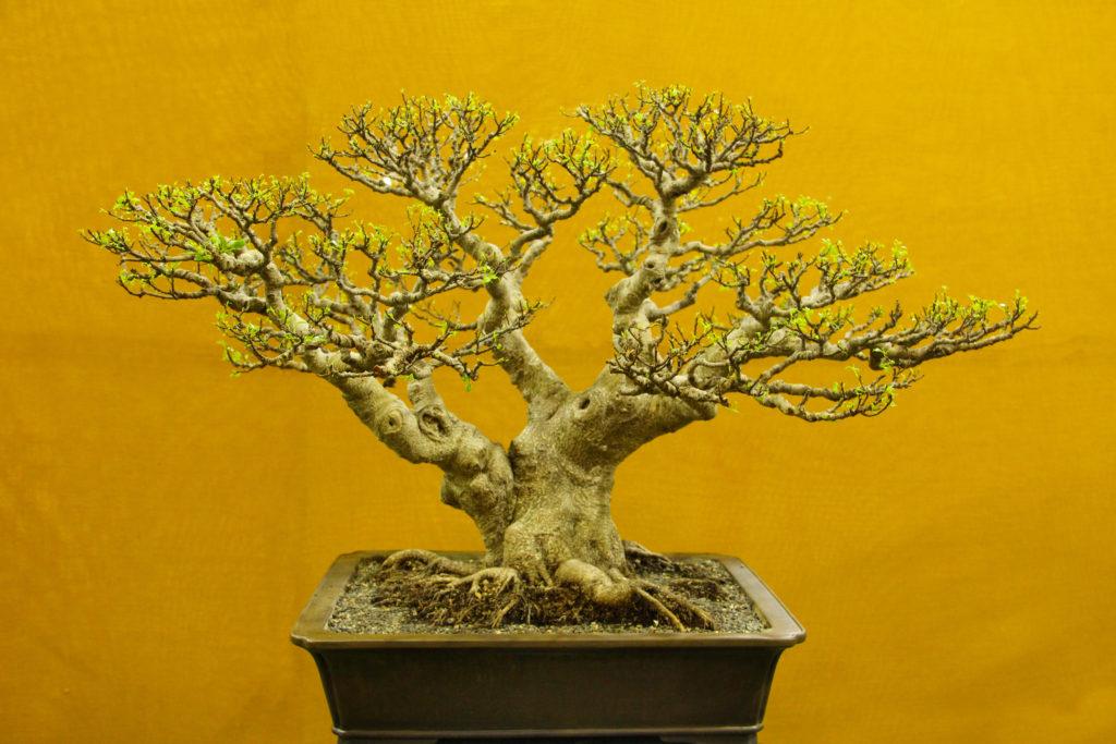 Bonsai kimeng, salah satu tanaman hias yang tinggi nilainya - Rumah123.com