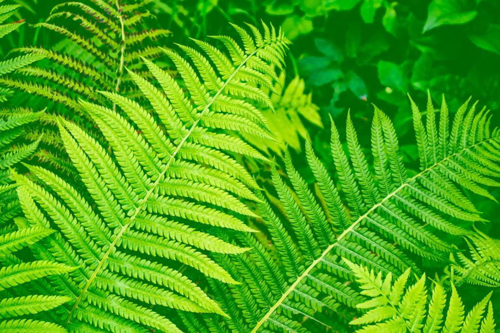 Pakis kelabang cocok untuk dijadikan tanaman indoor karena tak memerlukan banyak perawatan - Rumah123.com