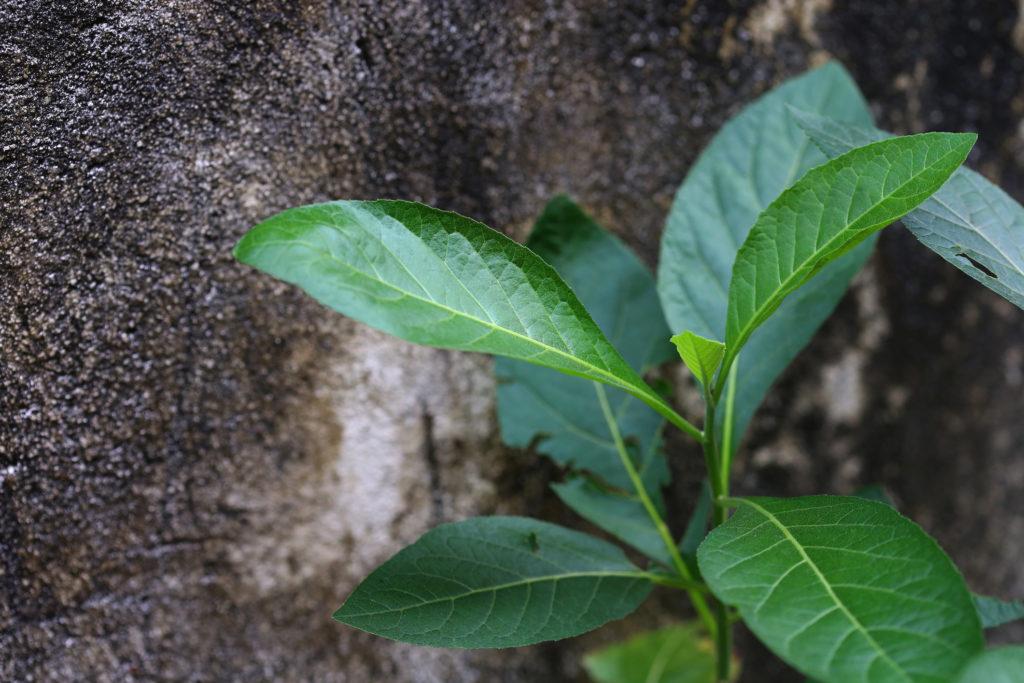 Vernonia Amygdalina atau daun afrika merupakan obat herbal yang banyak khasiatnya - Rumah123.com