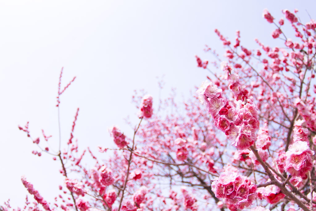 Pohon Mei Hua dijadikan dekorasi ruangan oleh masyarakat Tionghoa saat Imlek tiba - Rumah123.com