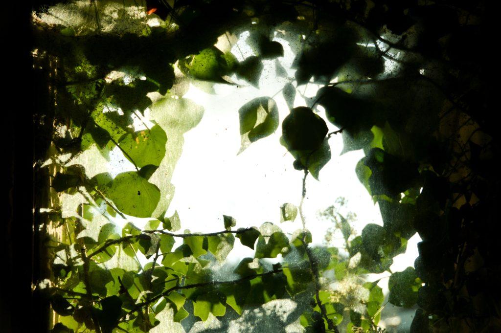 Tanaman indoor sirih gading bisa menjadi tanaman gantung - Rumah123.com