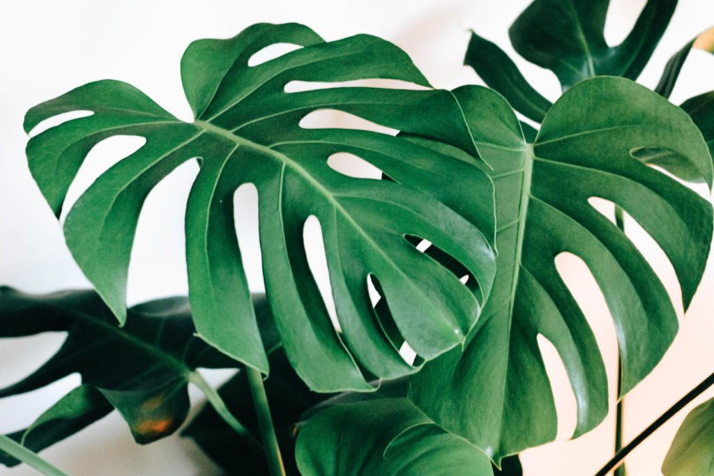 Monstera, salah satu tanaman indoor Philodendron yang populer - Rumah123.com