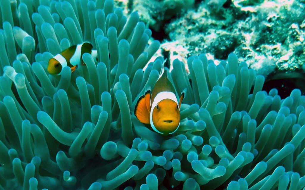 Ikan hias air laut clown fish - Rumah123.com