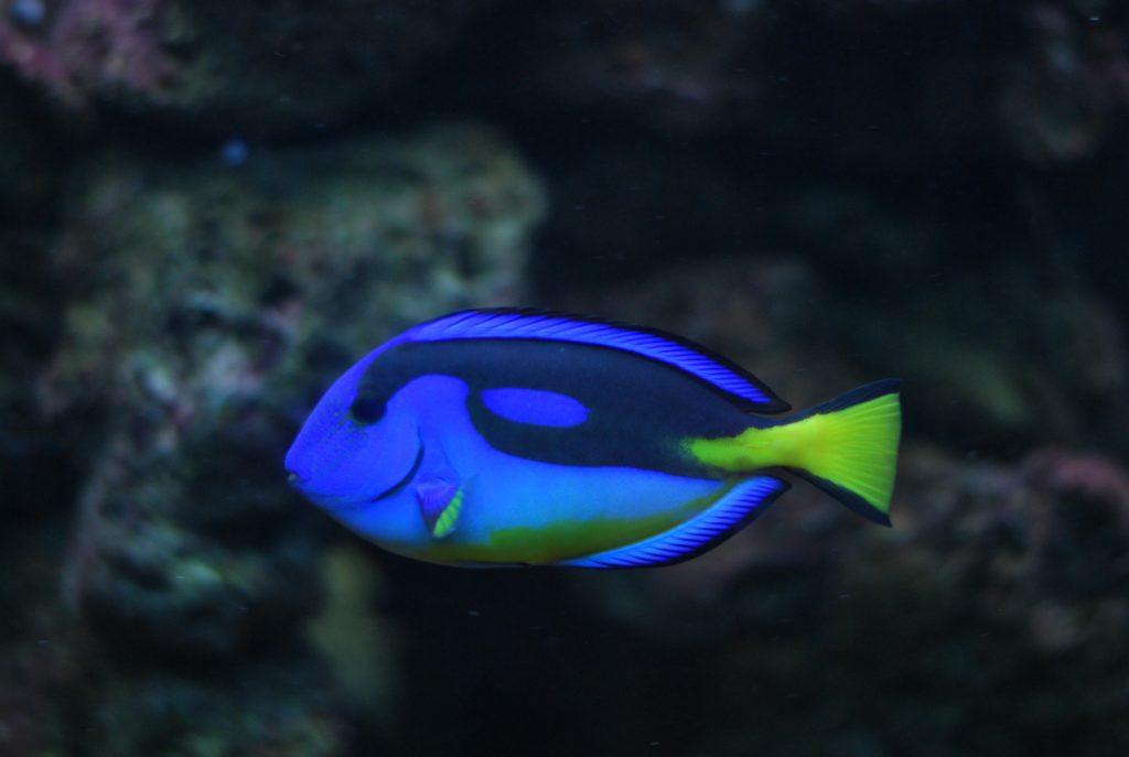 Ikan hias air laut blue tang - Rumah123.com