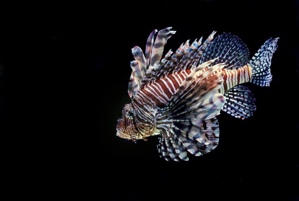 Ikan hias air laut Lion fish, cantik namun beracun - Rumah123.com