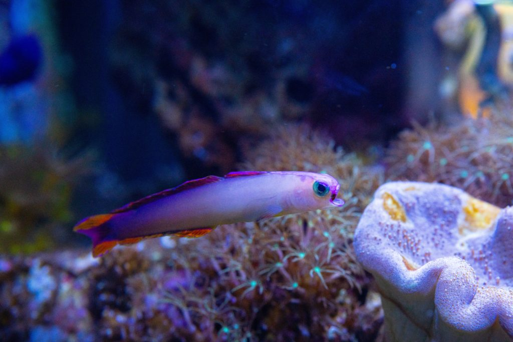 Firefish, ikan hias air laut dengan nama lain Roket Merah - Rumah123.com
