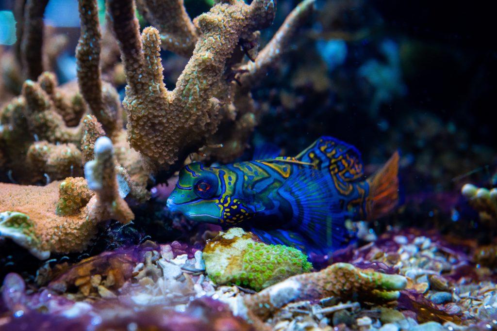 Ikan hias air laut Mandarin fish, dengan corak seperti batik - Rumah123.com