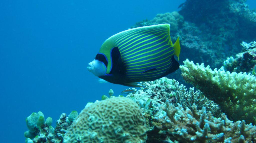 Angelfish, ikan hias air laut dengan corak unik - Rumah123.com